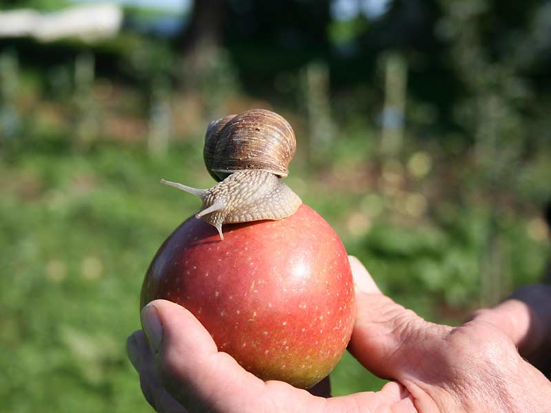 Kirschblütenhof - Apfel mit Schnecke