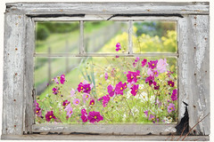 Floral Frame (Jacky Parker Photography) Tags: flowers window nature horizontal fence garden landscape flora view border frame blooms orientation cosmos pinks