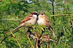 House Sparrow (Passer domesticus) (Meenakshi Mallik) Tags: africa england brown house black bird grey weeds asia europe wheat small australia insects pale sparrow distributed grains kashmir housesparrow passerdomesticus americas jammu domesticus genus passer passeridae widely anantnag