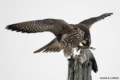 Juvenile Peregrine Falcon (Falco peregrinus) (Critter Seeker) Tags: bird nature birds canon outdoors rebel illinois wildlife falcon canonrebel peregrine peregrinefalcon falcoperegrinus t2i mygearandme canont2i