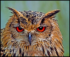 I'm Looking at You - Bengal Eagle Owl (Dysartian) Tags: zoo owl bengaleagleowl birdofprey orangeeyes eagleowl imlookingatyou fivesisterszoo dysartian smallanimalzoo photographybydysartian mygearandme mygearandmepremium mygearandmebronze mygearandmesilver theeyesoftheowl