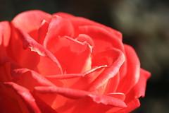 Rose / Rosa / 薔薇(バラ)
