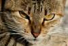 Dozy (michael_hamburg69) Tags: cat island alley chat tabby malta insel felino katze seafront stary ta getigert mittelmeer stubentiger xbiex inselstaat repubblikatamalta ко́шка