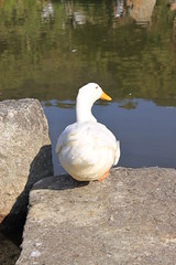 ( /  / POHAN) Tags: white bird yellow duck   buttock