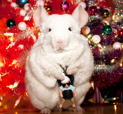 Lightning and Baby Carlos (wisely-chosen) Tags: december chinchilla lightning christmastrees cameraraw 2011 babycarlos thehangover canonspeedlite430exii pinkwhitechinchilla adobephotoshopcs5extended
