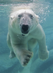 Happy Willy Wednesday! (ucumari) Tags: north september polarbear carolina willie nczoo willy wilhelm ursusmaritimus 2011 specanimal ucumariphotography dsc9614 elitepalacefav