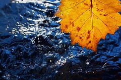 Autumn leaf. (hoboton) Tags: blue autumn rain yellow leaf
