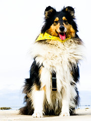 yeah! (Hermio-Black) Tags: beach dogs cane collie candy midday lassie