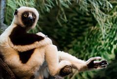 Lax Lemur