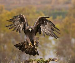 beauty eagle (natan964) Tags: allofnatureswildlifelevel4 allofnatureswildlifelevel5 allofnatureswildlifelevel8 allofnatureswildlifelevel6 allofnatureswildlifelevel7 allofnatureswildlifelevel9 flickrsfinestimages1 flickrsfinestimages2 flickrsfinestimages3