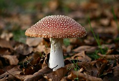 Shhh!! Its a Secret!! (willowmina) Tags: autumn red white mushroom leaves virginia fly buckinghamshire waters agaric