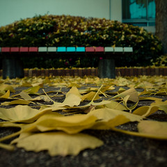 Dusting of Gingko Leaves with Bench (jacob schere [in the 03 strategically planning]) Tags: autumn winter blur macro leaves yellow closeup digital bench square dof floor angle bokeh jacob low 4 ground outoffocus depthoffield communication scatter colored gr dust magnified multicolored lucid iv hue ricoh gingko multi dusting tokyojapan scattering m2c schere dgr hued jacobschere lucidcommunication