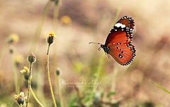 Dream (Harvarinder Singh) Tags: india nature butterfly butterflies naturephotography ludhiana flyingbutterfly naturebutterflies harvarindersinghphotography harvarindersingh