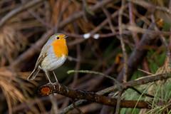 Robin (Guy L Janssens) Tags: vogels belgië roodborst averbodebosheide vliegenvangers
