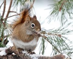 """""""Red"""" (KvonK) Tags: winter nature backyard squirrel eating inmybackyard redsquirrel throughthewindow kvonk"""