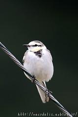 [Motacilla alba lugens] (necydalis) Tags: portrait bird nature japan photography japanese is nikon alba kagoshima nikkor pied afs wagtail motacilla amamioshima x17 vrii lugens 30028g d300s