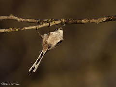 PC184722 Longtailed Tit (KenYerrillPhotography) Tags: dave hide whistlecrafts