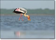 Painted Stork (Gurusan2010) Tags: paintedstork mycterialeucocephala