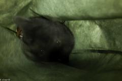 cat_in_greenbag (elmar35) Tags: cat sigma dp1