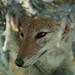 Jackal close-up, Etosha