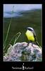 Bentivi [Pitangus sulphuratus] (Neimar Rafael) Tags: passaro pitangus sulphuratus bentivi