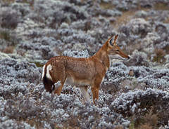 """Ethiopian Wolf,     Simien Fox,   Canis simiensis,     Ethiopian Endemic, IUCN Vunerable (Graham Ekins) Tags: africa mammal ethiopia carnivore canissimiensis ethiopianwolf simienfox ethiopianendemic canon1dmkiv grahamekins """"canon400mmf4isaf"""" iucnvunerable ah9k8182a"""