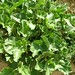 "Ecballium elaterium (L.) A. Richard, Cucurbitaceae • <a style=""font-size:0.8em;"" href=""http://www.flickr.com/photos/62152544@N00/6596745835/"" target=""_blank"">View on Flickr</a>"