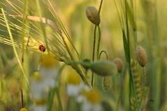 ladybird (StephanieWilderspin) Tags: sun macro field daisies nikon wheat ladybird ladybug sooc d5000