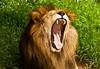 Dia de Luz, Tarde de Sol... Uhaaaa - Leão no Zoo de Brasília (gvanerven) Tags: animal animals zoo lion yawn felino zoológico growl brasilia leão bocejo bsb emfoco rosnar planogeral rosnado qualidadesuperior umaface togrowl
