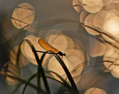 Dragonfly in sunset (jonasmikael1) Tags: light sunset sun water finland river dragonfly canonef75300mmf456iiiusm