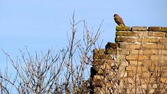 Sentinel (Michele -) Tags: birds bentivoglio larizza