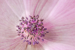 Pink'n'Purple (macropoulos) Tags: pink topf25 500v20f purple petal anemone stamen wildflower ranunculaceae textured anther coronaria flypaper canoneos5d ranunculales canonspeedlite430ex canonef100mmf28macrousm 30faves30comments300views canon250dcloseup floralessence