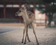(skidu) Tags: park japan canon eos 50mm f14 deer sika 550d