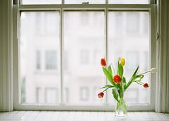 some color (*Cinnamon) Tags: home tulips kodak nikonf100 400 portra thewindow sigma50mmf14