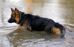 Crazy canine (* RICHARD M (Over 5 million views)) Tags: dog pets lake cold ice nature wet water animals swimming frozen freezing canine germanshepherd southport alsation sefton heskethpark
