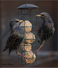 THE FACE OFF (Shaun's Photographic World.) Tags: birds starlings shaund