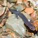 Larval Grotto Salamander