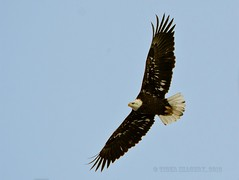 Baldie in Flight (Tiger Imagery) Tags: bird birds illinois nikon birdsinflight eagles baldeagles baldies americanbaldeagles largebirds eaglesinflight nikond7000