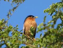 Brahminy Starling (sudheer_pandey) Tags: india birds canon bhopal brahminystarling temenuchuspagodarum sx130 brahminymyna sturniapagodarum canonpowershotsx130