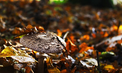 Just a Mushroom. (Adrian T Photography) Tags: autumn color colour fall nature mushroom colors digital canon germany t bayern deutschland bavaria photography eos colours fotografie dof d laub nuremberg herbst natur s franconia ii adrian mm 1855mm 1855 franken bltter efs ef nrnberg pilz 1100 schrfentiefe thelen tiefenschrfe a at 1100d oberasbach unterasbach feldtiefe eos1100