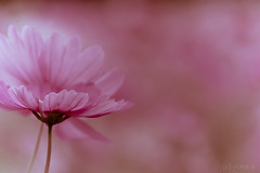 (rika...) Tags: 2005 pink cosmos nostalgie  allxpressus
