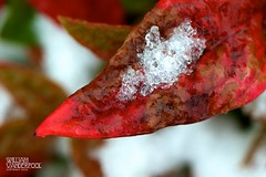 Encrusted (∞ RedLoop ∞) Tags: winter red snow storm color ice leaf icy catchy brilliant encrusted ∞redloop∞ theateamrallyingforaurelia