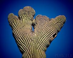 Crested Saguaro (Jim Purcell) Tags: arizona usa detail digital photoshop flora pentax zoom tucson az photograph saguaro dslr cactaceae plantae hdr highdynamicrange arizonasonoradesertmuseum topaz adjust arizonastateflower carnegieagigantea caryophyllales angiosperms carnegiea eudicots pentaxistdl tonemapping photomatrix coreeudicots denoise pimacounty cereusgiganteus pachycereeae smcpentaxfa75300mm4558al fromonerawfile