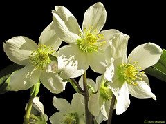 Helleborus niger [ Explore - Jan 26, 2012] (Marco Ottaviani on/off) Tags: nature canon natura vegetable quintaflower plantae 1001nights elleboro piante ranunculaceae helleborus helleborusniger vegetali mixedflowers natureplus rosadinatale photosandcalendar flowersarebeautiful angiosperme floraandfaunaoftheworld excellentsflowers explorewinnersoftheworld exquisiteflowers mimamorflowers flickrflorescloseupmacros greatshotss elleboronero natureandpeopleinnature allegrisinasceosidiventa 1001nightsmagiccity marcoottaviani flickrsportal esenciadelanaturaleza eudicotiledoni