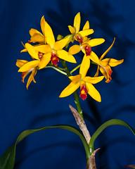 Laeliocattleya, Hybr. - 2012-01-08-_DSC5849 (jakobae) Tags: pflanzen orchidaceae gewchshaus orchideen grten greenhaus bltenpflanzen spermatophyta samenpflanzen infloreszenz magnoliophytina bedecktsamigepflanzen 01jakob locchzhgossaurjb gartenundgewchshauspflutiere bltenstandblten gartenundgewchshaus pflutiere angiospermaebedecktsamige laeliocattleyahybride