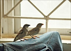 Duo On Denim! (aprna) Tags: two india male birds female goa denim sparrows panaji housesparrows gettyimagesindiaq3 52weeks2012 52weeks2012week5