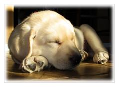 2012-wk02 ~ Speir (moi_images) Tags: dog puppy labrador 2012 picaweek speir wk02