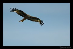 The Windy Ways (Maurizio De Vita) Tags: italy flickr vallata redkite milvusmilvus nibbioreale mito2010