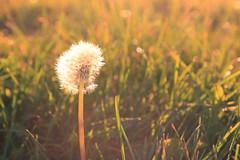 Summer Lust (themorningdove) Tags: summer goldenhour wishingflower