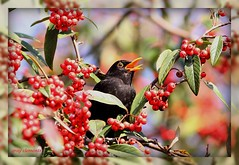 blackbird amongst berries (gray clements) Tags: nature canon berries ngc explore devon exeter 7d blackbird redberries gardenbirds passeriformes britishbirds supershot explored ef300mmf4lisusm exeterdevon natureuk mygearandme blinkagain grayclements wildlifeindevon berryeatingbirds